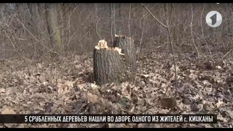 В Кицканском лесу незаконно срубили дубы