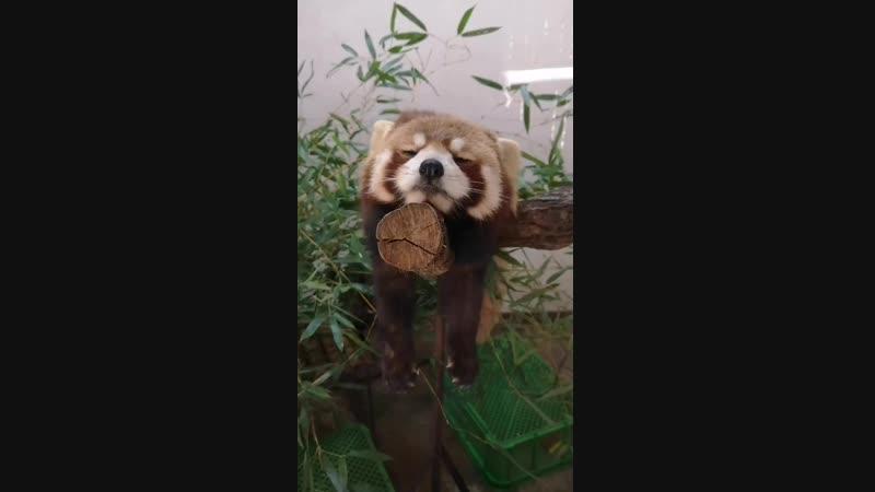 みなさんお疲れさまでしたひまりのこっくりの動画です - レッサーパンダ - パンダ - こっくり - 群馬サファリパーク.mp4