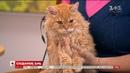 У студії Сніданку власниця котів породи селкірк рекс Лариса Іваненко та її улюбленець
