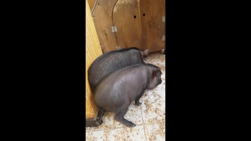 Секс с свином видео был