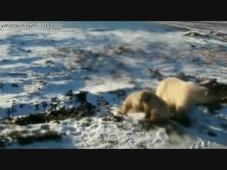 На Новой Земле массовое нашествие белых медведей