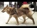 Собака породы Шалайка