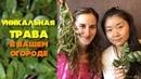 Уникальная трава в вашем огороде | Портулак огородный свойство и применения