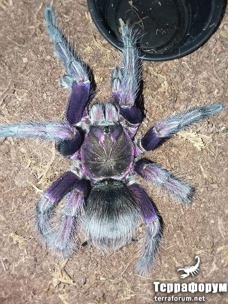 Pamphobeteus sp mascara