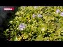 Что такое водный гиацинт