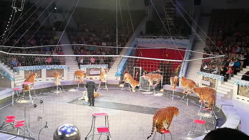 Новогодние каникулы среди хищников. Суматранские тигры.