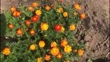 Бархатцы осенью - естественное удобрение! Защита и польза для сада и огорода...