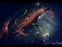 Ao nuôi cá rồng huyết long bán hoang dã 12 tỷ độc nhất vô nhị