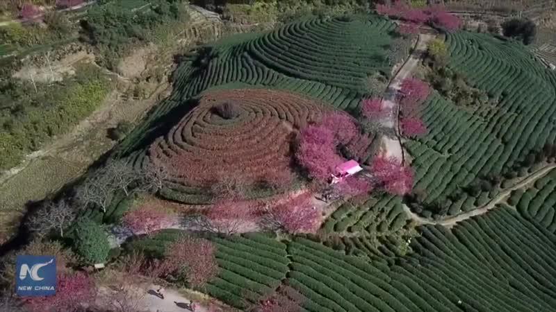 Цветы вишни на чайных плантациях