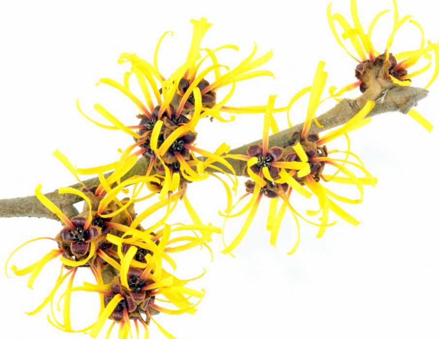 Ореховое растение ведьмы обеспечивает вяжущее средство, обычно используемое для очистки и дезинфекции геморроя.