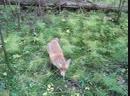 Пошёл в лес за грибами, и встретил лису, которая любит колбаску.