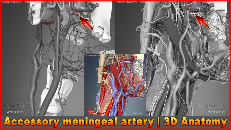 Accessory meningeal artery | Arteries of head and neck | 3D Human Anatomy | Organs