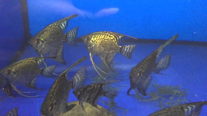 Green Leopard Lace Angelfish