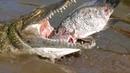 Молодой нильский крокодил ест тилапию
