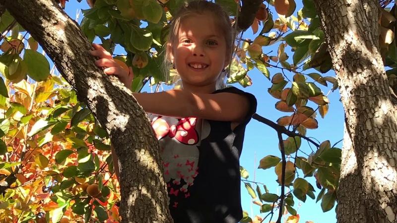 Собираем ХУРМУ 🌳 U-PICK PERSIMMONS 🌳 Хурма, гранат, апельсиновые деревья