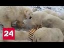 Белые медведи ушли по льду: на Новой Земле сняли режим ЧС - Россия 24