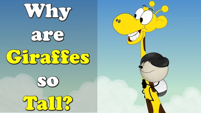 Why are Giraffes so Tall? | aumsum kids education