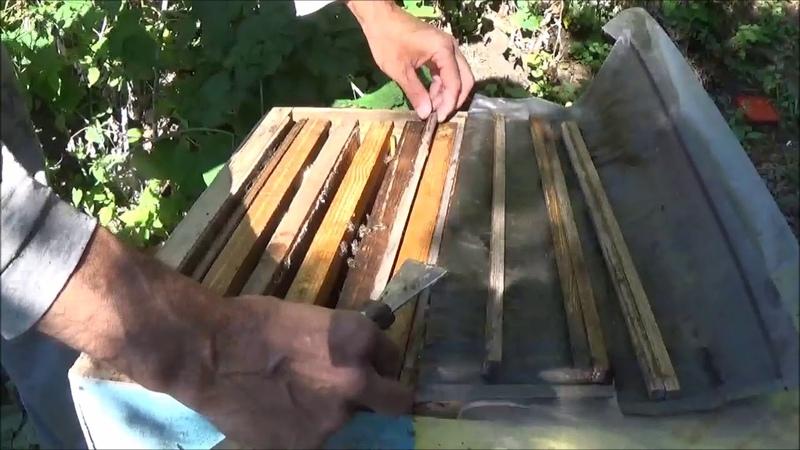 Пчёлы воровки в ловушке . Ловим пчел воровок и подсиливаем отводок