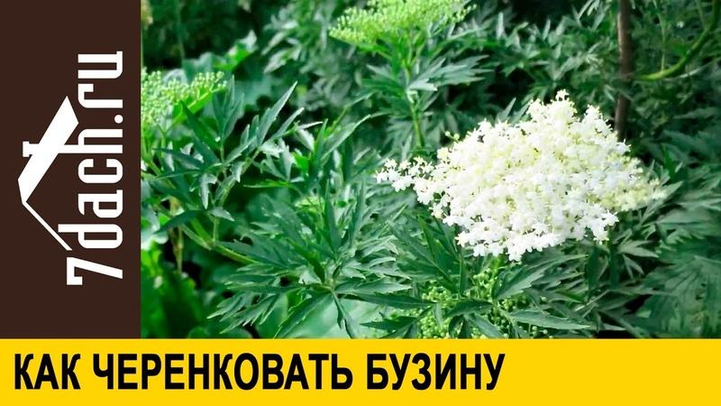 Бузина чёрная: размножение черенкованием - 7 дач
