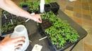 Как правильно сеять томаты и перец в лотках Кантри Хаус