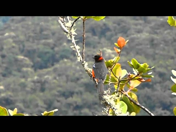 Scarlet-bellied mountain tanager / Краснобрюхая горная танагра / Anisognathus igniventris