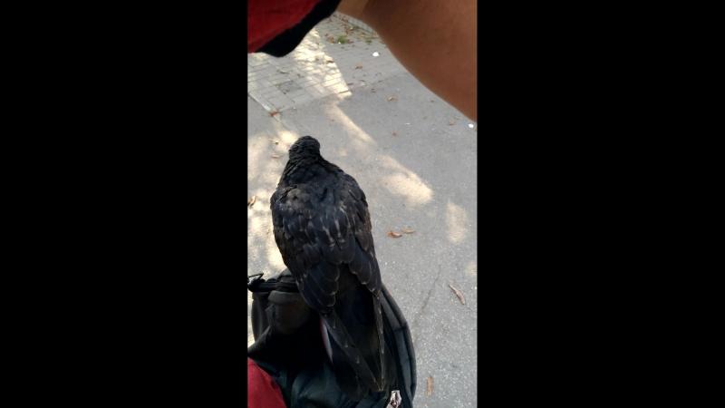 Наглый калужский голубь