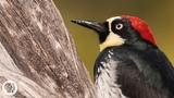 You'd Never Guess What an Acorn Woodpecker Eats Deep Look