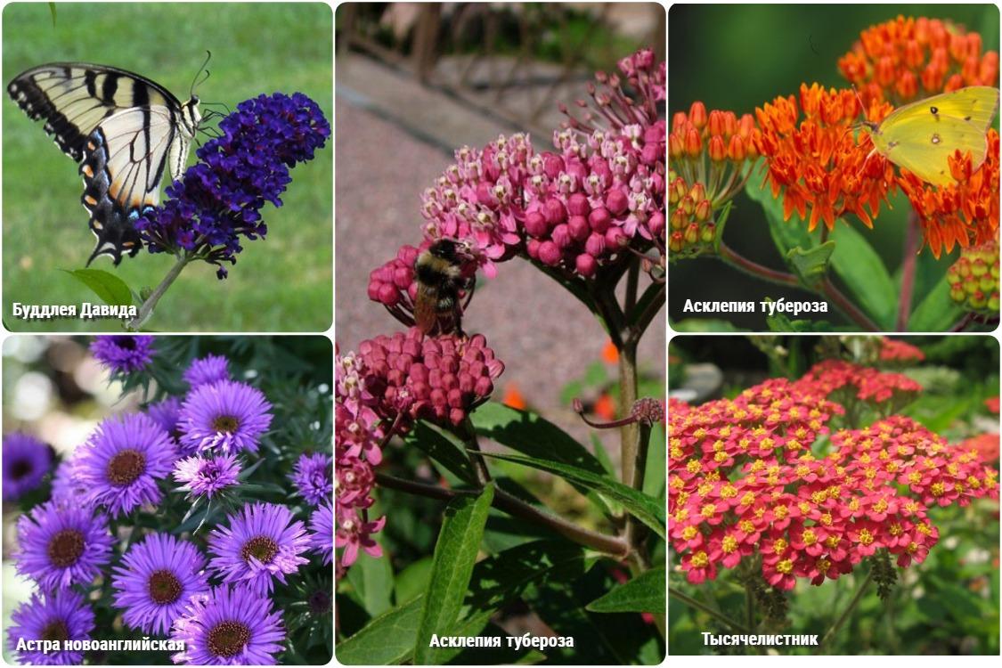 Сад бабочек, план, схема, фото цветов
