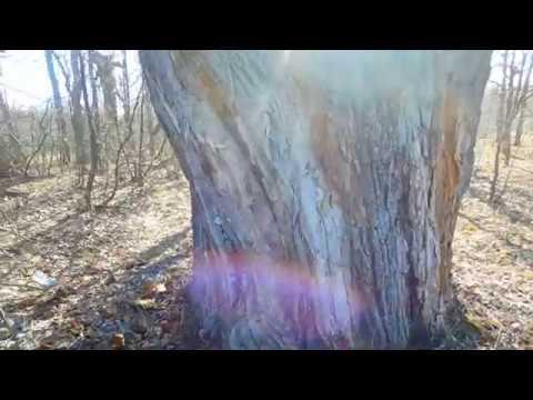 Новый метод получения энергии от деревьев!