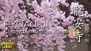[4K] 龍安寺・京都の桜 京都の庭園 Ryoan-ji Temple [4K] The Garden of Kyoto Japan