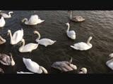 Лебединая стая на реке Преголе !!!