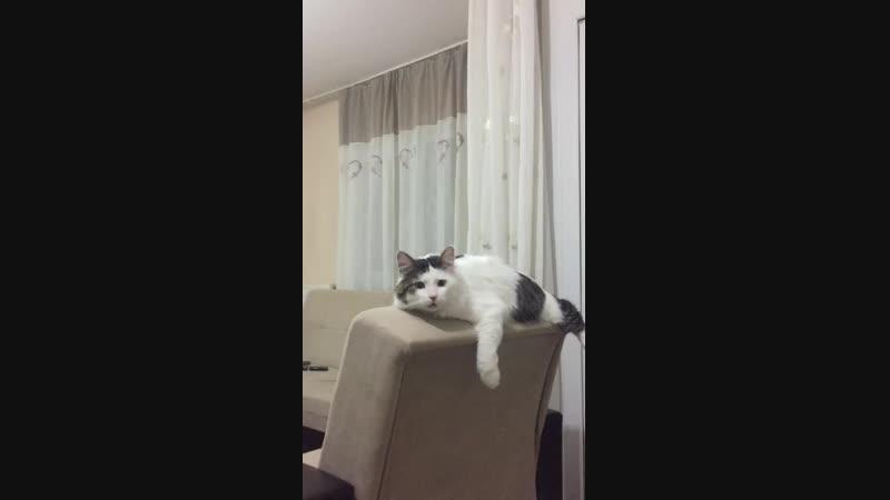 Sahibine masaj yaptırtan ve sahibiyle konuşan kedi ŞANS.mp4