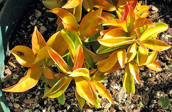 переския переския один из древнейших родов семейства кактусовые её считают «примитивным кактусом», так как за миллионы лет она так и не избавилась от настоящих листьев, не трансформировала их в