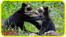 Documentary | The last remaining short faced bear Life of Andean Bear | National Geographic