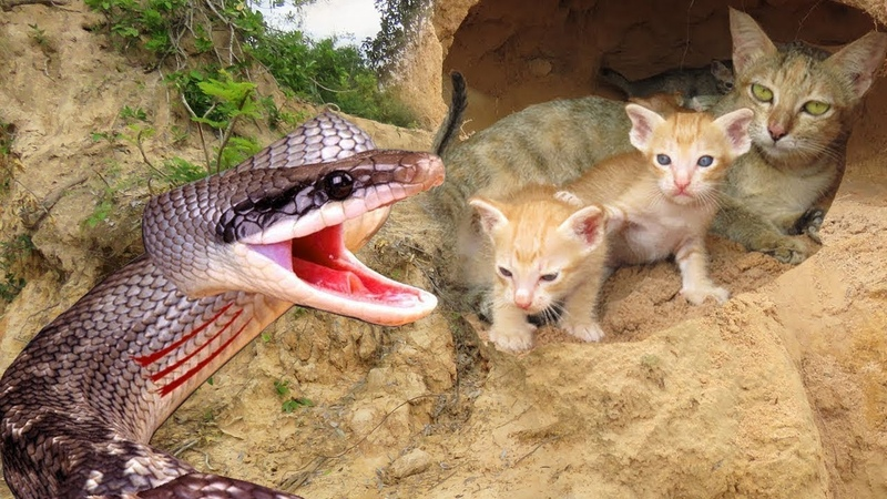 Primitive Boys Saves Family Cats From Python Attack - Python Attack Cat Nest