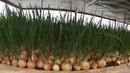 Зелёный лук за 17 дней