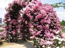 Плетистая роза - невероятная красота!