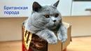 Насколько ЛЮБОПЫТНЫ британские КОТЫ Смешные моменты / BRITISH CAT HARRY