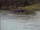 Территориальный гребнистый крокодил против буйвола, Crocodile Sizes Up Buffalo for Dinner