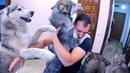 Собаки встречают хозяина после долгой разлуки хаски встречает