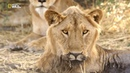 Nat Geo Wild Невероятная Африка Закума 1080р