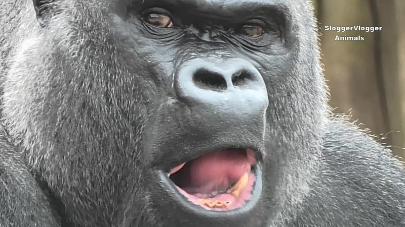 Enrichment And Food For The Gorillas