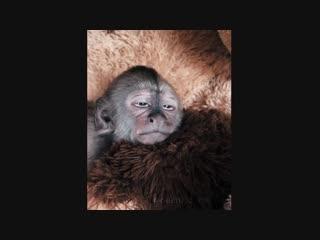 Маленькая обезьянка не хочет просыпаться vfktymrfz j,tpmzyrf yt [jxtn ghjcsgfnmcz