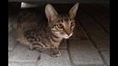Ласковый котенок полосатый мальчик Срочно ищет дом СПб
