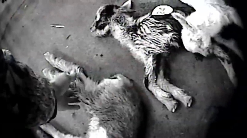 Auction Atrocities - Shocking Undercover Investigation Exposes Animal Cruelty