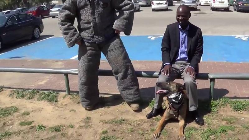 Собака профессионально предотвращает ножевую атаку