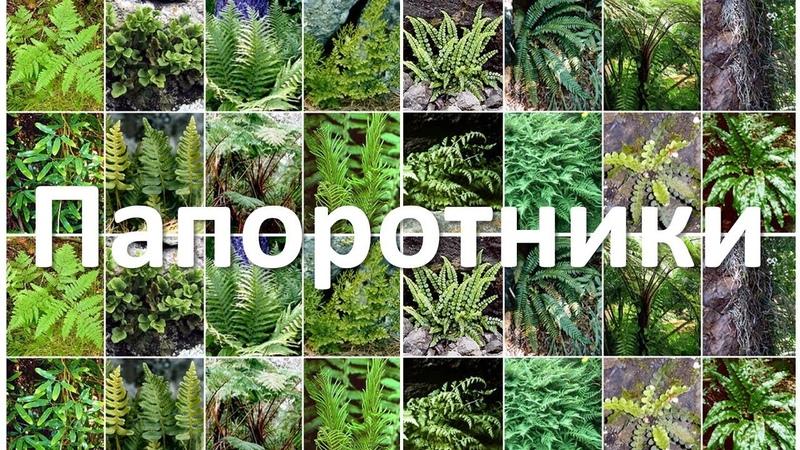 17. Папоротники (6 класс) - биология, подготовка к ЕГЭ и ОГЭ 2018