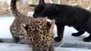 Игры с леопардами. Тайган. Крым. Leopard games. Taigan Crimea.