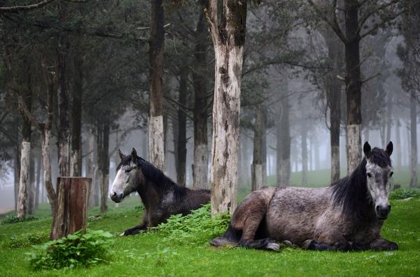 Лошади отдыхают в лесу в Шаххате, Ливия.