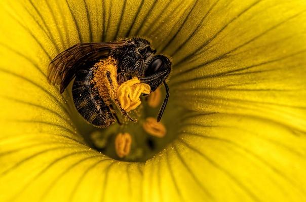 Медоносная пчела в цветке кислицы.